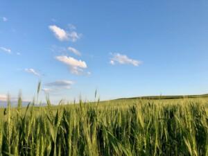 美瑛ブルー 小麦畑と空